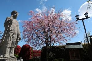 成就院の枝垂れ桜